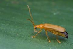 Escarabajo anaranjado Fotos de archivo libres de regalías