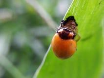 Escarabajo anaranjado debajo de la hoja verde Imágenes de archivo libres de regalías
