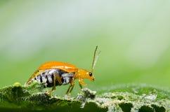 Escarabajo anaranjado en macro verde de la hoja Imagen de archivo libre de regalías