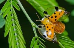 Escarabajo anaranjado en naturaleza verde Imagen de archivo