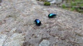 Escarabajo azul brillante metrajes