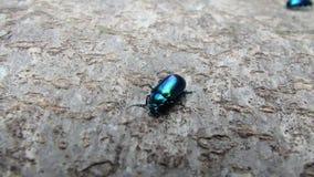 Escarabajo azul brillante almacen de metraje de vídeo