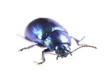 Escarabajo azul metálico imágenes de archivo libres de regalías