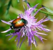 Escarabajo brillante imagen de archivo libre de regalías