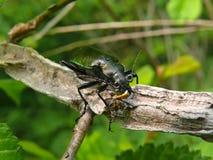 Escarabajo Carabus (sycophanta) de Calosoma 18 Fotografía de archivo libre de regalías