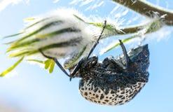Escarabajo climing en el árbol que come las flores Imagenes de archivo