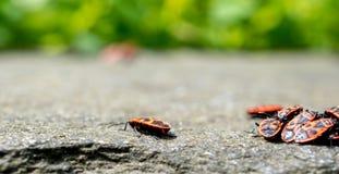 Escarabajo coloreado fuego en una pared de piedra Fotografía de archivo libre de regalías