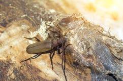 Escarabajo con los cuernos largos Foto de archivo