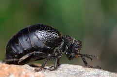 Escarabajo Darkling Fotos de archivo libres de regalías