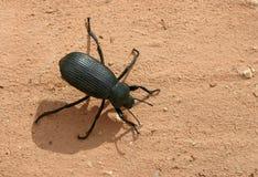 Escarabajo Darkling Imágenes de archivo libres de regalías