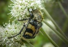 Escarabajo de abeja Imágenes de archivo libres de regalías