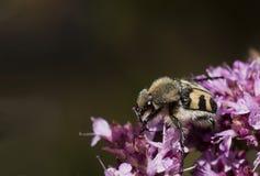 Escarabajo de abeja Foto de archivo libre de regalías