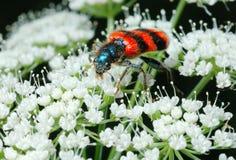 Escarabajo de abeja brillante (apiarius de Trichodes). Fotografía de archivo