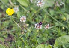 Escarabajo de abeja en el césped Fotos de archivo libres de regalías