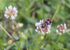 Escarabajo de abeja en un trébol blanco de la flor Foto de archivo