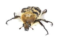 Escarabajo de abeja (fasciatus de Trichius) Fotografía de archivo