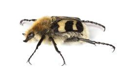 Escarabajo de abeja (fasciatus de Trichius) Fotografía de archivo libre de regalías