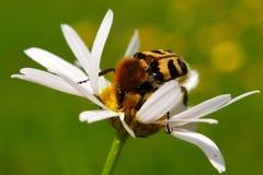 Escarabajo de abeja (fasciatus de Tricius) Fotos de archivo