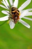 Escarabajo de abeja (fasciatus de Tricius) Imagenes de archivo