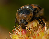 Escarabajo de abeja, fasciatus de Tricius Fotos de archivo