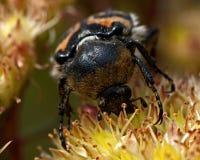 Escarabajo de abeja, fasciatus de Tricius Fotografía de archivo libre de regalías
