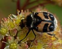 Escarabajo de abeja, fasciatus de Tricius Fotografía de archivo