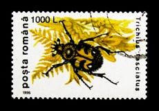 Escarabajo de abeja (fasciatus) de Trichius, serie de los escarabajos, circa 1996 Fotos de archivo libres de regalías