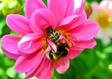 Escarabajo de abeja y un abejorro Fotografía de archivo libre de regalías