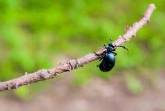 Escarabajo de aceite en un fondo verde Imagen de archivo