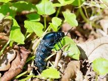 Escarabajo de aceite - proscarabaeus de Meloe Foto de archivo