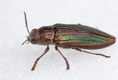 Escarabajo de Buprestid Fotos de archivo libres de regalías