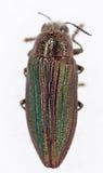Escarabajo de Buprestid Imagen de archivo