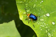 Escarabajo de Calomela en una hoja verde con gotas de lluvia imagen de archivo