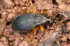 Escarabajo de Chlaenius Fotografía de archivo