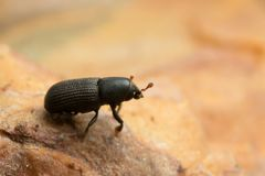 Escarabajo de corteza de Hylastes en la madera imagenes de archivo