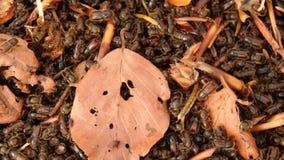 Escarabajo de corteza spruce europeo, almacen de metraje de vídeo