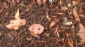 Escarabajo de corteza spruce europeo, metrajes