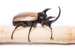 Escarabajo de cuernos cinco fotografía de archivo