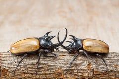 Escarabajo de cuernos del amarillo cinco Imagen de archivo libre de regalías