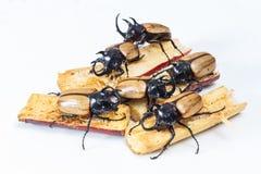 Escarabajo de cuernos del amarillo cinco Fotografía de archivo libre de regalías