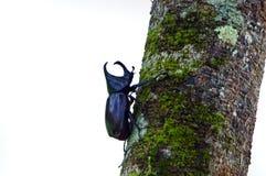 Escarabajo de cuernos grande Imágenes de archivo libres de regalías