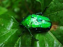Escarabajo de Emrald Fotos de archivo libres de regalías