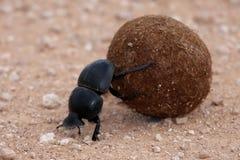 Escarabajo de estiércol Foto de archivo