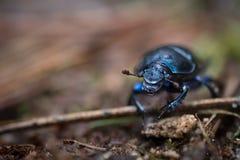 Escarabajo de estiércol azul fotos de archivo libres de regalías