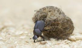 Escarabajo de estiércol con la bola del estiércol fotografía de archivo