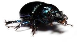 Escarabajo de estiércol del bosque Imagenes de archivo