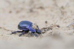 escarabajo de estiércol del Tierra-taladro - vernalis de Trypocopris fotografía de archivo