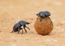 Escarabajo de estiércol Imagenes de archivo