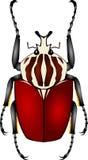 Escarabajo de Goliat Imágenes de archivo libres de regalías