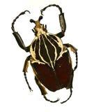 Escarabajo de Goliat fotografía de archivo libre de regalías